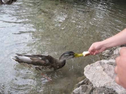 Ratusca pe un lac in parcul Plitvice