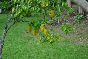 Republica Dominicana -Eco Caribe Tour-Star fruit